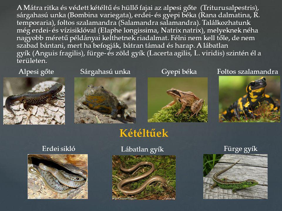 A Mátra ritka és védett kétéltű és hüllő fajai az alpesi gőte (Triturusalpestris), sárgahasú unka (Bombina variegata), erdei- és gyepi béka (Rana dalmatina, R. temporaria), foltos szalamandra (Salamandra salamandra). Találkozhatunk még erdei- és vízisiklóval (Elaphe longissima, Natrix natrix), melyeknek néha nagyobb méretű példányai kelthetnek riadalmat. Félni nem kell tőle, de nem szabad bántani, mert ha befogják, bátran támad és harap. A lábatlan gyík (Anguis fragilis), fürge- és zöld gyík (Lacerta agilis, L. viridis) szintén él a területen.