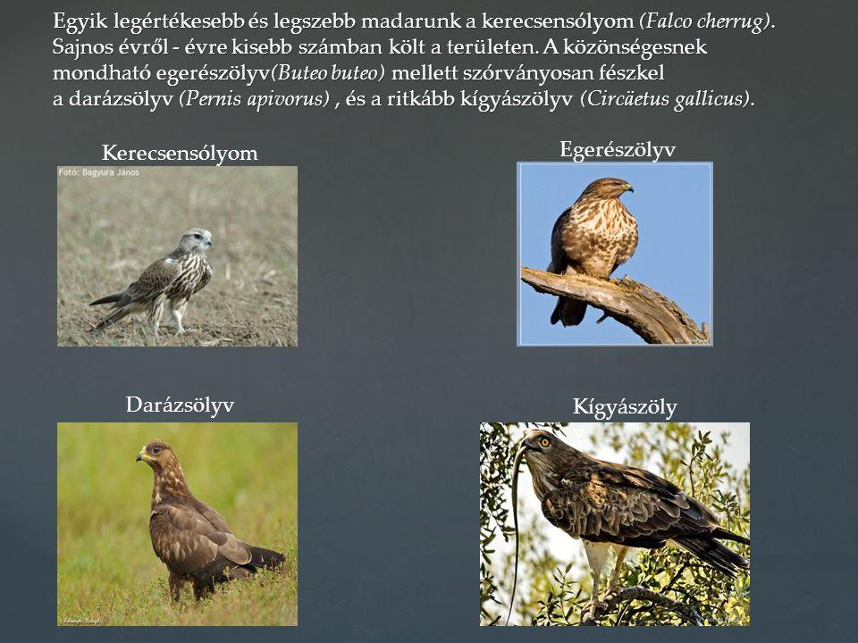 Egyik legértékesebb és legszebb madarunk a kerecsensólyom (Falco cherrug). Sajnos évről - évre kisebb számban költ a területen. A közönségesnek mondható egerészölyv(Buteo buteo) mellett szórványosan fészkel a darázsölyv (Pernis apivorus) , és a ritkább kígyászölyv (Circäetus gallicus).