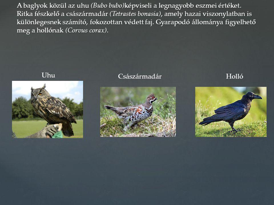 A baglyok közül az uhu (Bubo bubo)képviseli a legnagyobb eszmei értéket. Ritka fészkelő a császármadár (Tetrastes bonasia), amely hazai viszonylatban is különlegesnek számító, fokozottan védett faj. Gyarapodó állománya figyelhető meg a hollónak (Corvus corax).