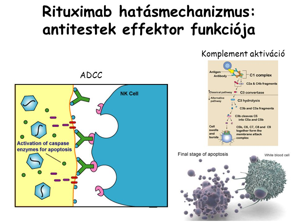 Rituximab hatásmechanizmus: antitestek effektor funkciója