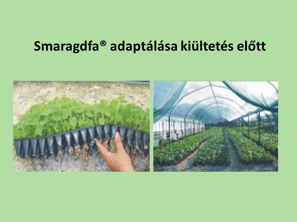 Smaragdfa® adaptálása kiültetés előtt