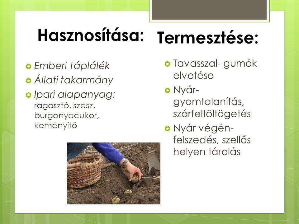 Hasznosítása: Termesztése: Tavasszal- gumók elvetése Emberi táplálék
