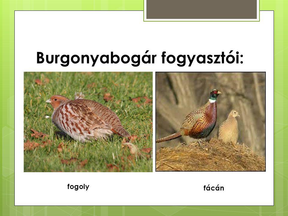 Burgonyabogár fogyasztói:
