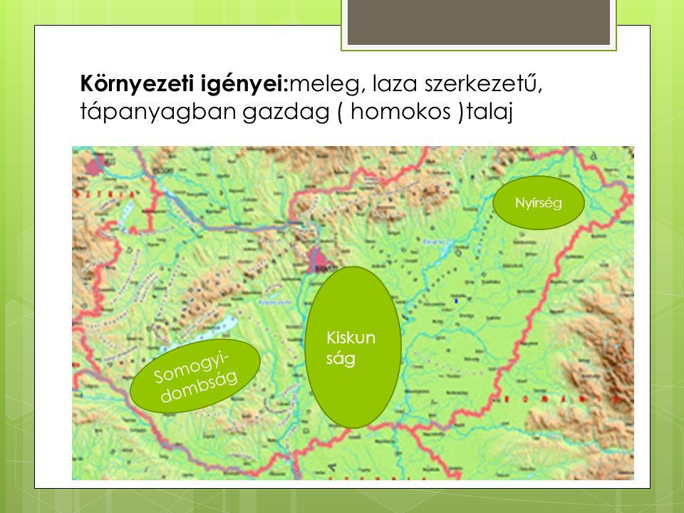 Környezeti igényei:meleg, laza szerkezetű, tápanyagban gazdag ( homokos )talaj