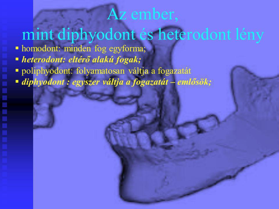 Az ember, mint diphyodont és heterodont lény