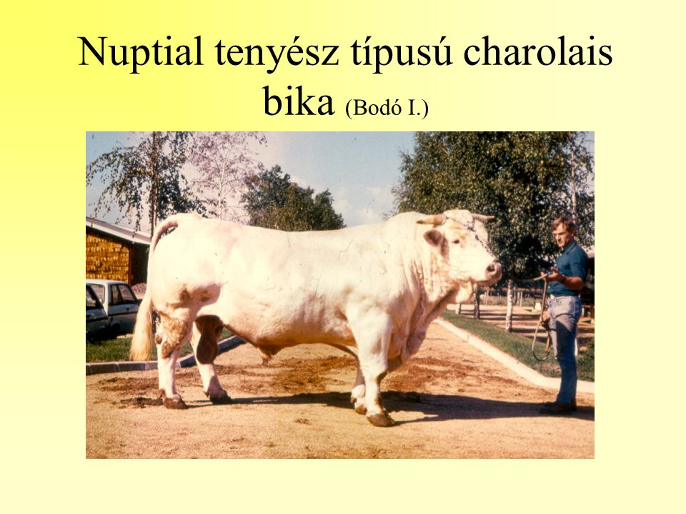 Nuptial tenyész típusú charolais bika (Bodó I.)