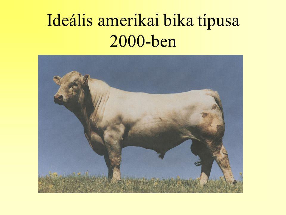 Ideális amerikai bika típusa 2000-ben