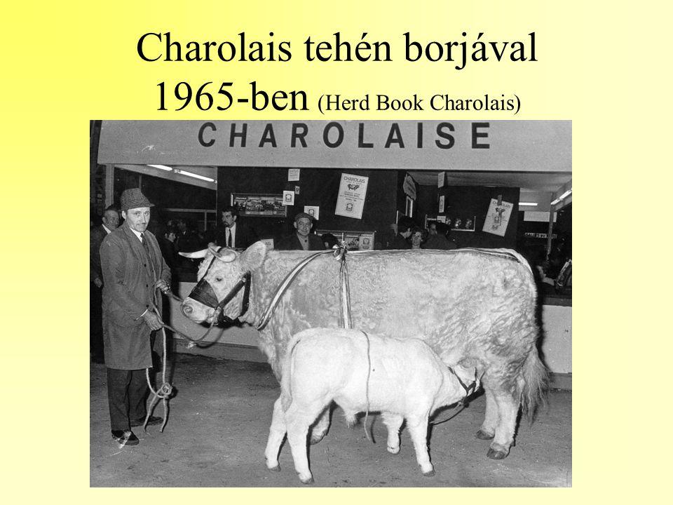 Charolais tehén borjával 1965-ben (Herd Book Charolais)