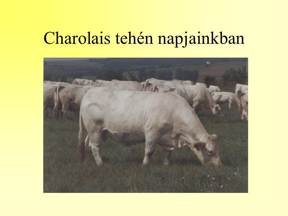 Charolais tehén napjainkban