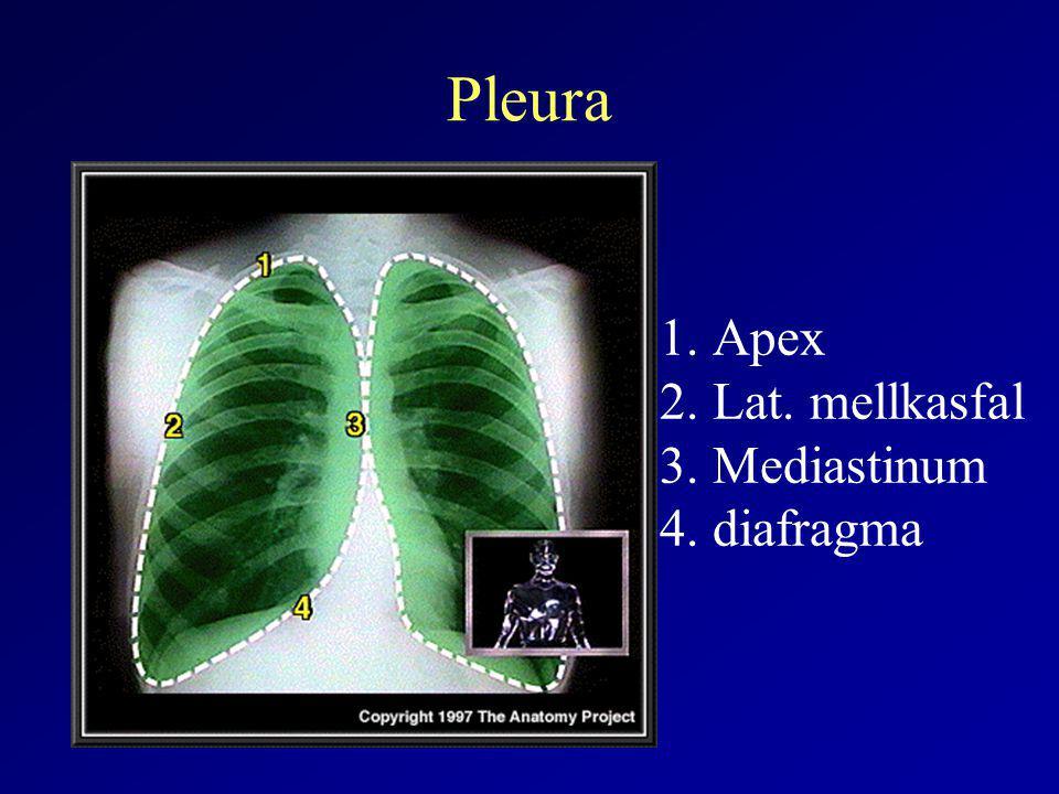 Pleura Apex Lat. mellkasfal Mediastinum diafragma