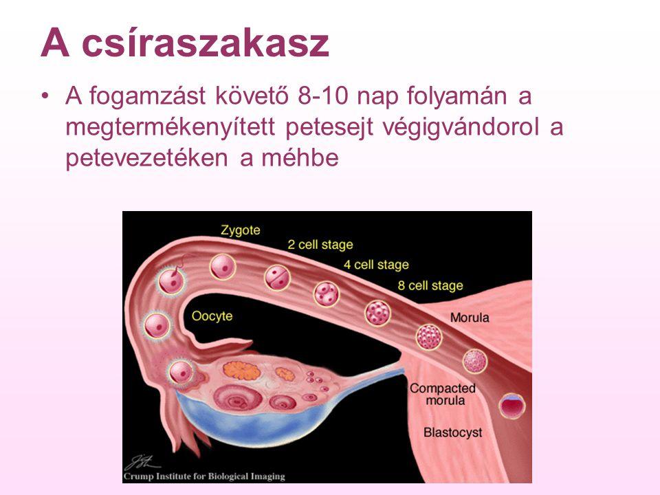 A csíraszakasz A fogamzást követő 8-10 nap folyamán a megtermékenyített petesejt végigvándorol a petevezetéken a méhbe.