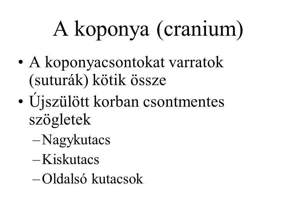 A koponya (cranium) A koponyacsontokat varratok (suturák) kötik össze