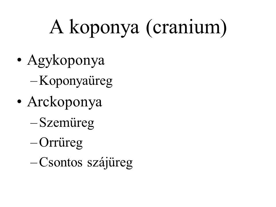 A koponya (cranium) Agykoponya Arckoponya Koponyaüreg Szemüreg Orrüreg