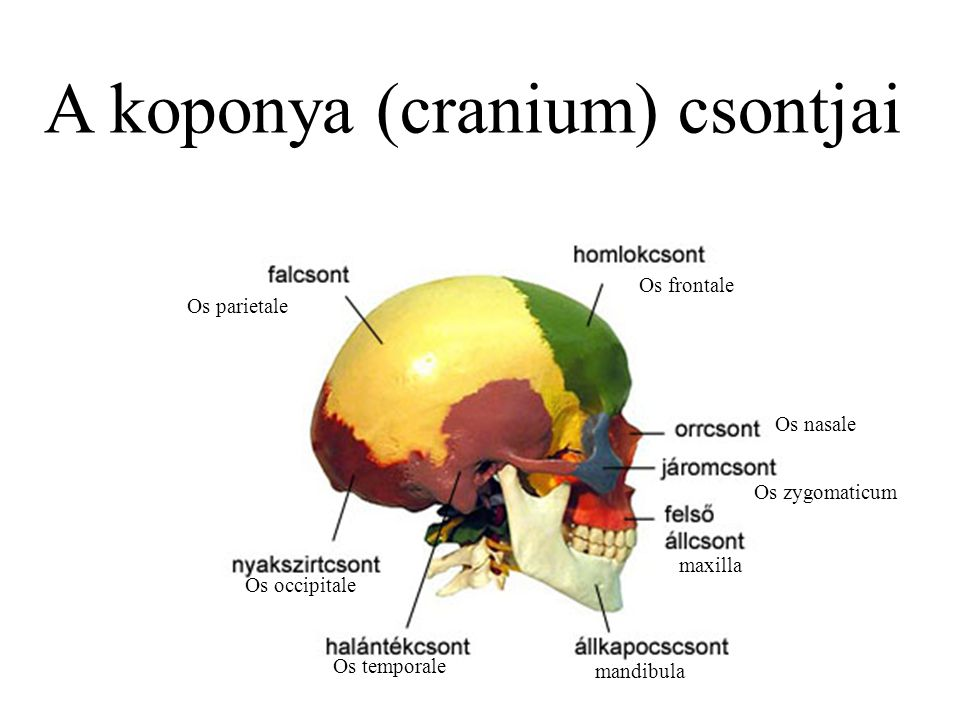 A koponya (cranium) csontjai
