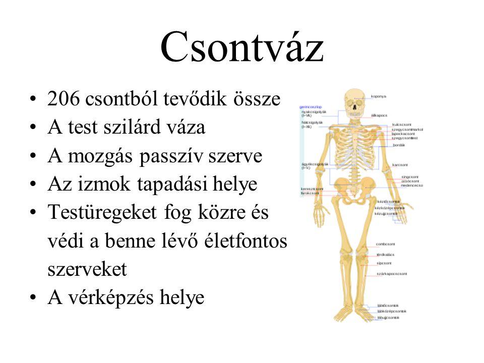 Csontváz 206 csontból tevődik össze A test szilárd váza