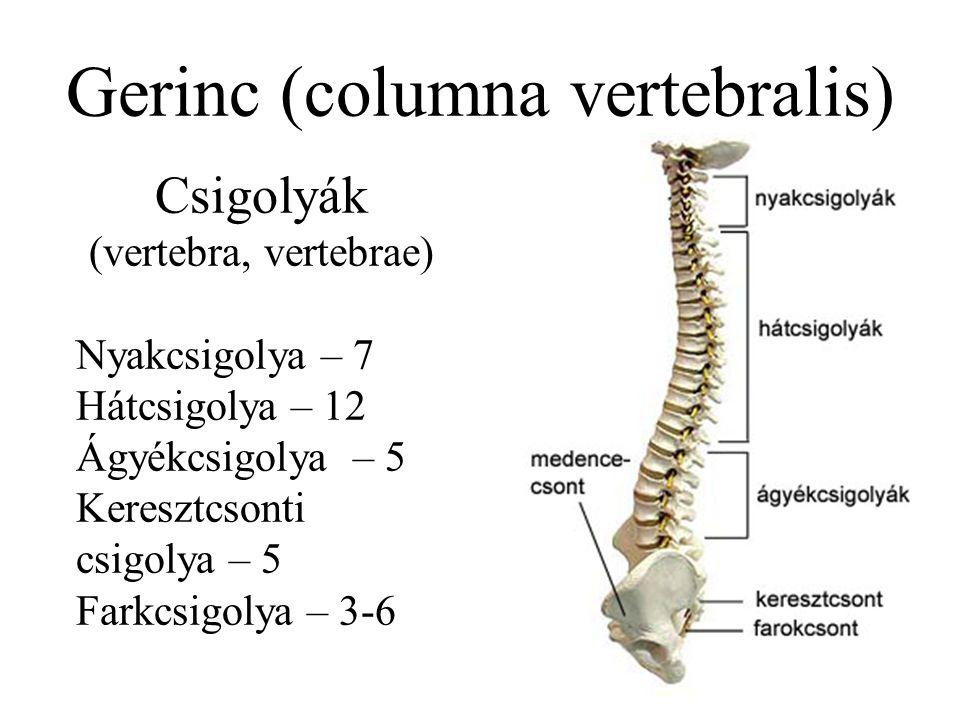 Gerinc (columna vertebralis)