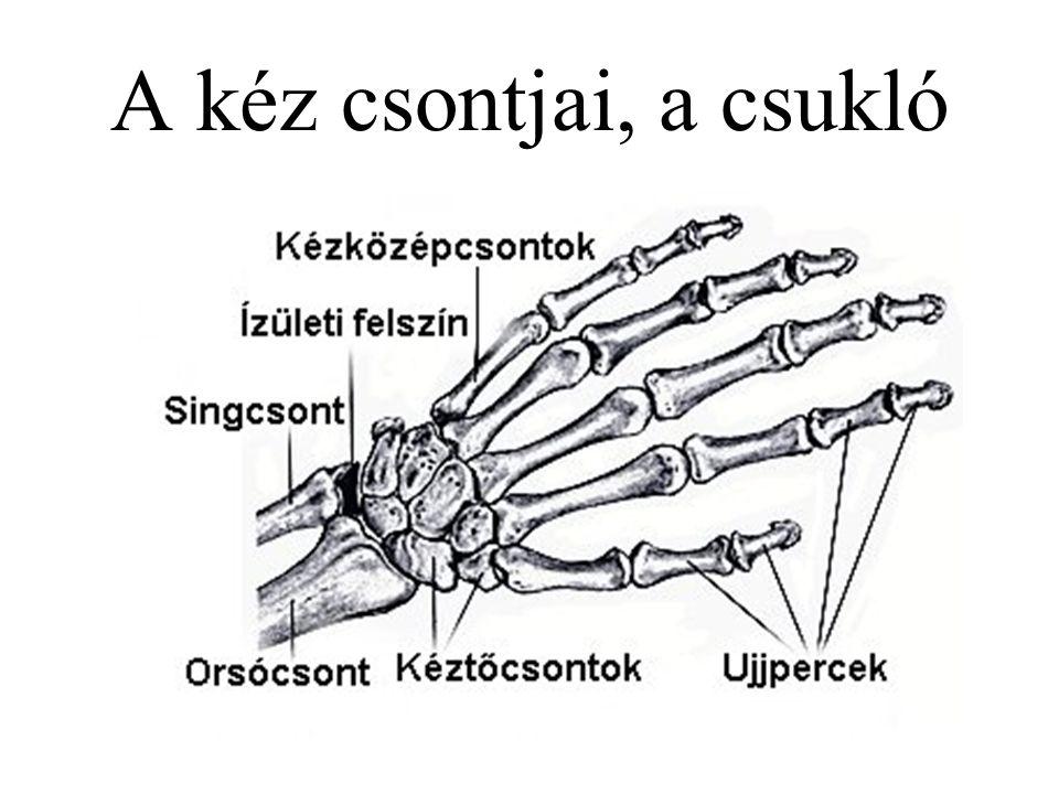 A kéz csontjai, a csukló