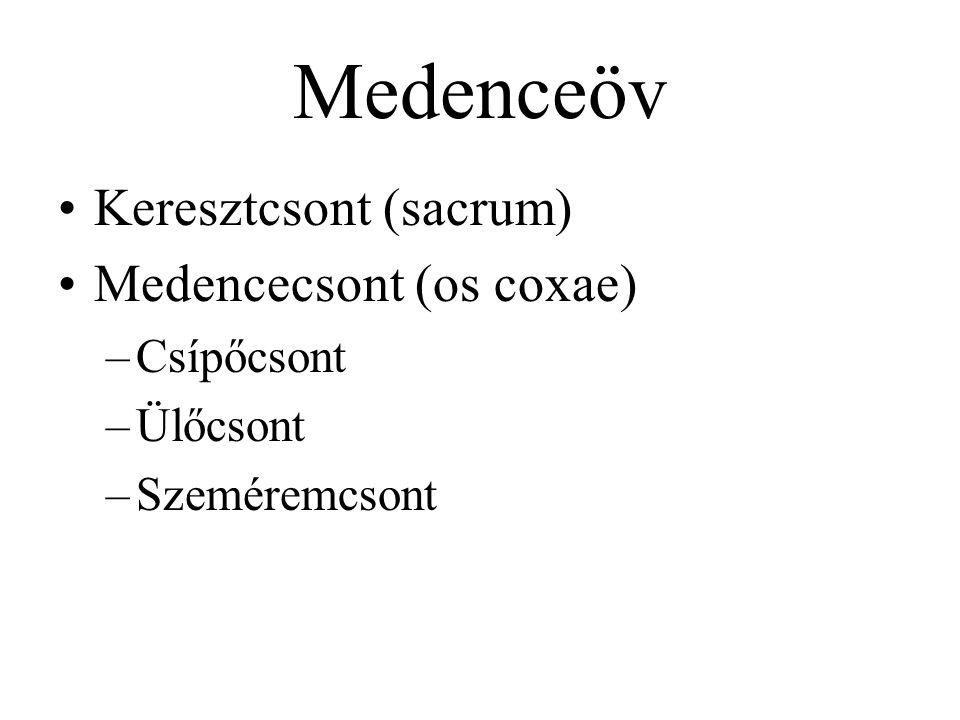 Medenceöv Keresztcsont (sacrum) Medencecsont (os coxae) Csípőcsont