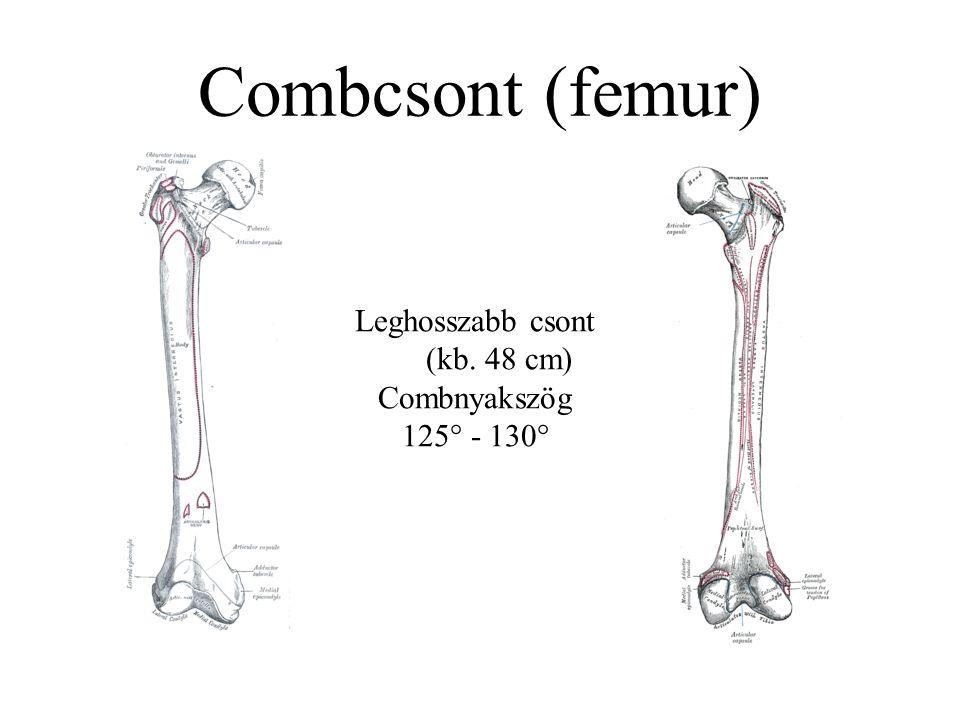 Combcsont (femur) Leghosszabb csont (kb. 48 cm) Combnyakszög