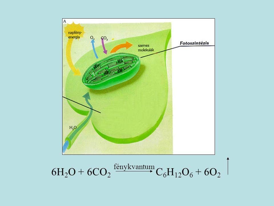 fénykvantum 6H2O + 6CO2 C6H12O6 + 6O2