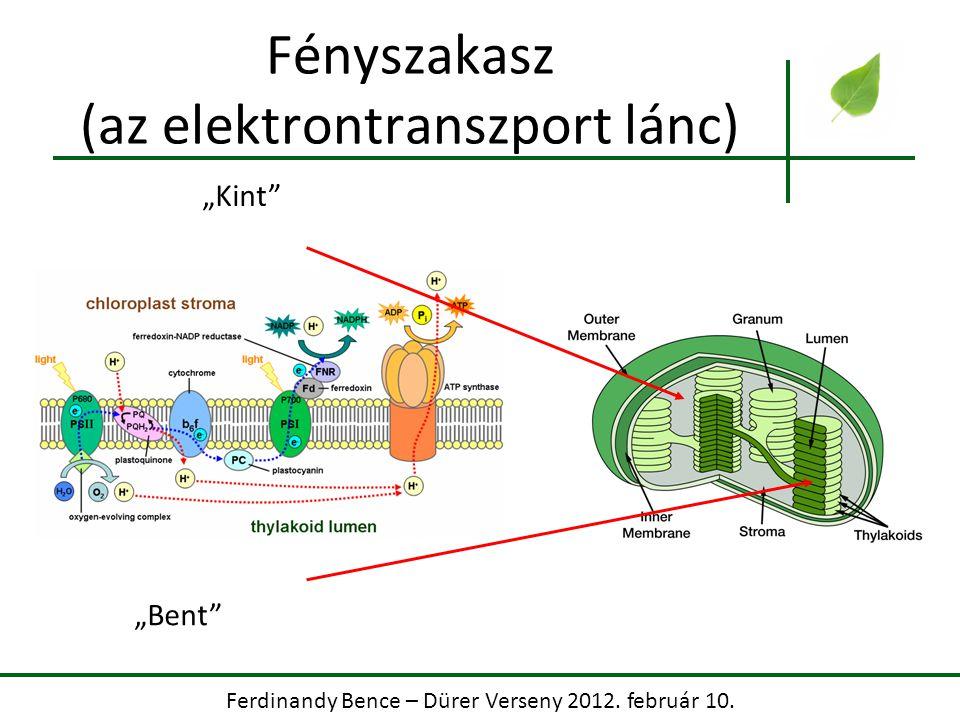 Fényszakasz (az elektrontranszport lánc)