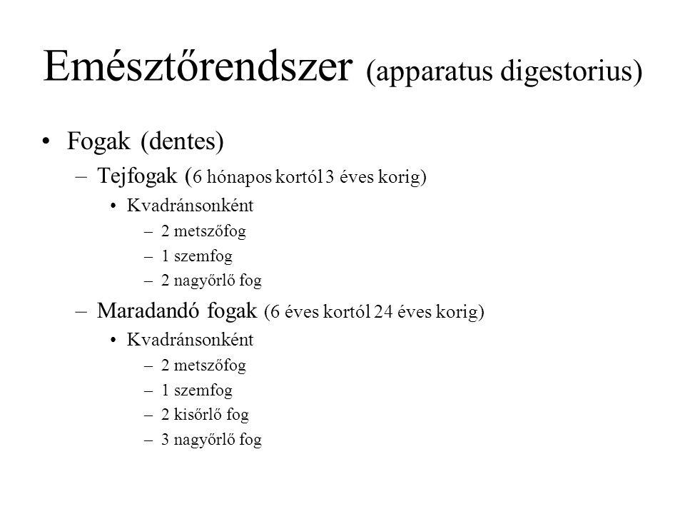 Emésztőrendszer (apparatus digestorius)