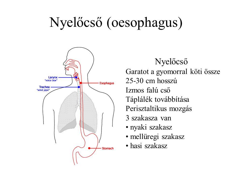 Nyelőcső (oesophagus)