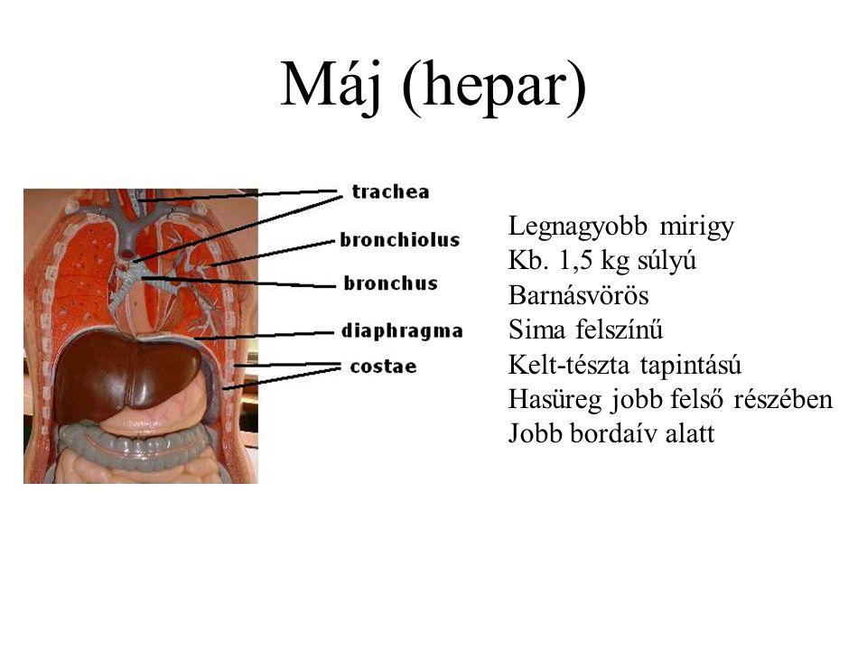 Máj (hepar) Legnagyobb mirigy Kb. 1,5 kg súlyú Barnásvörös