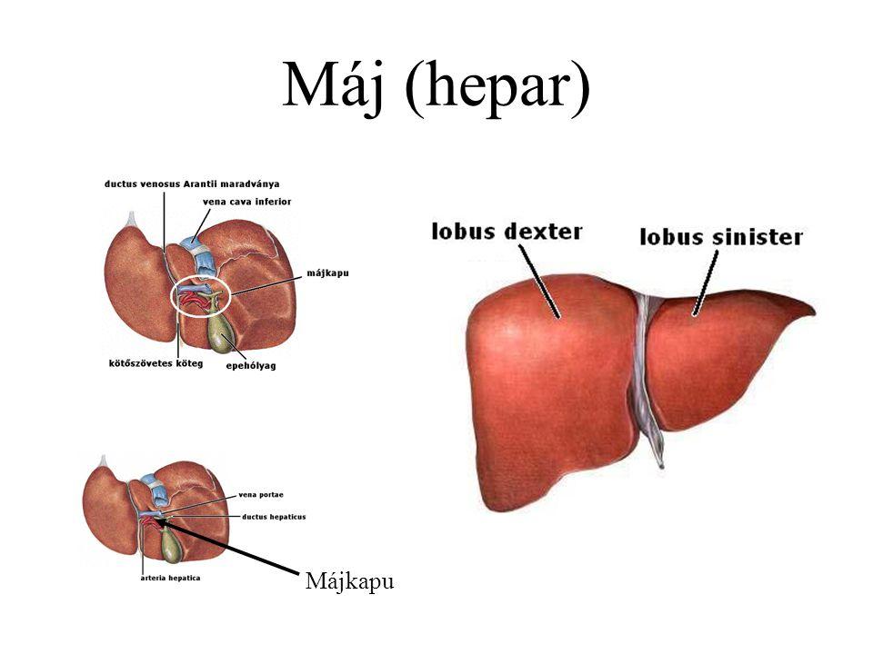 Máj (hepar) Májkapu
