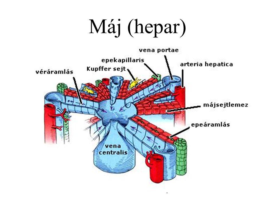 Máj (hepar)