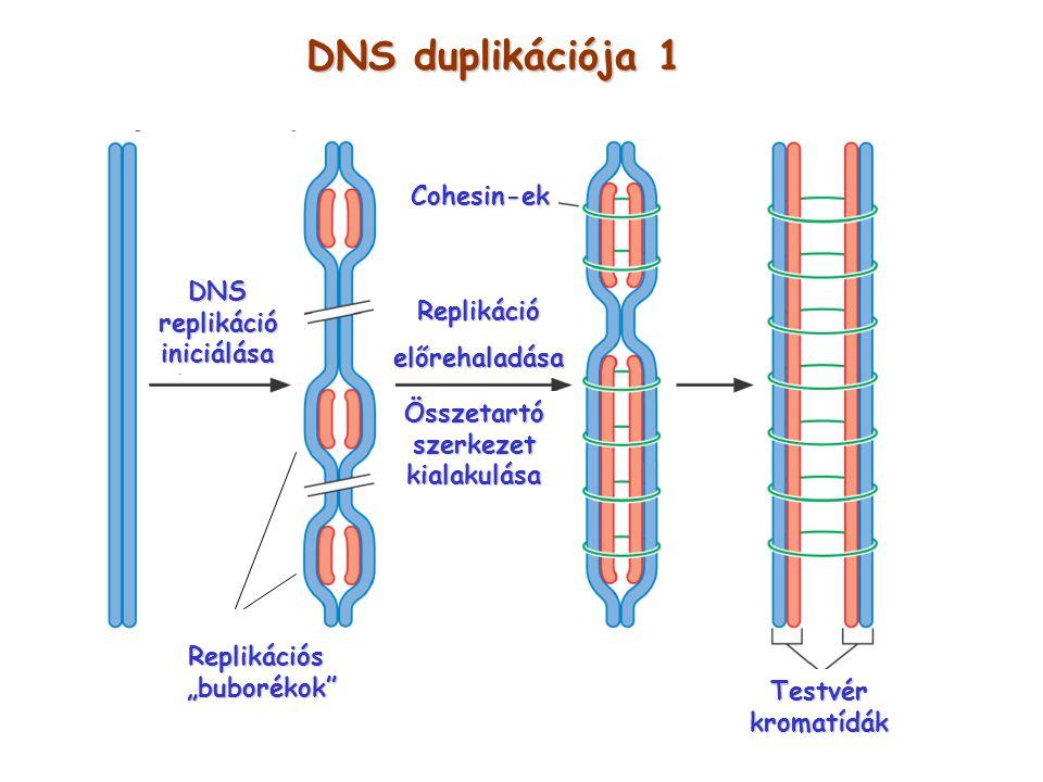DNS duplikációja 1 Cohesin-ek DNS replikáció Replikáció iniciálása