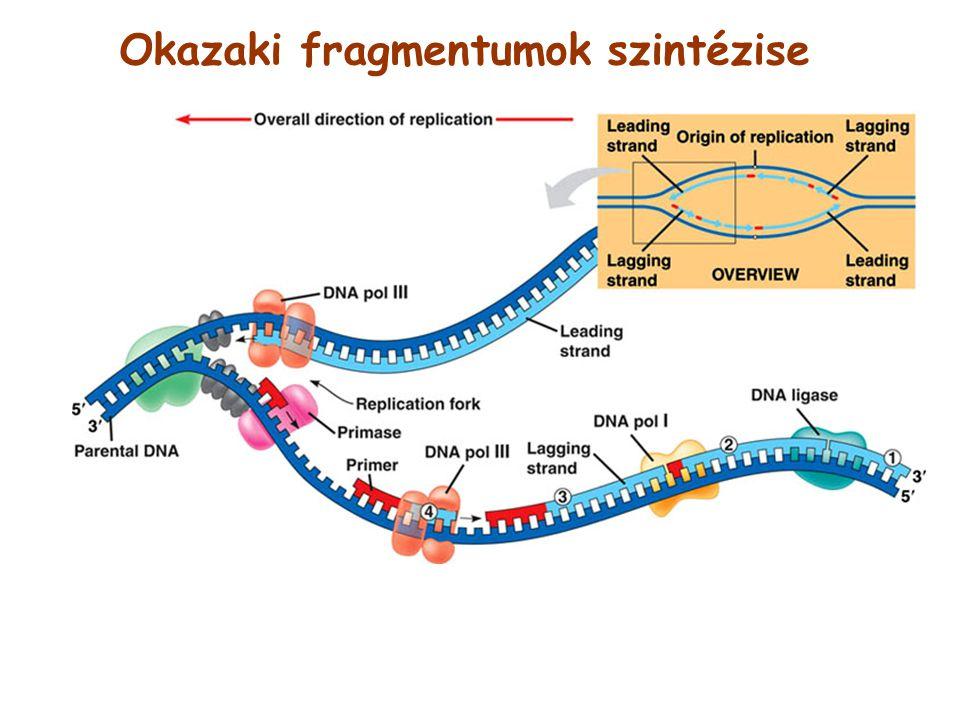 Okazaki fragmentumok szintézise
