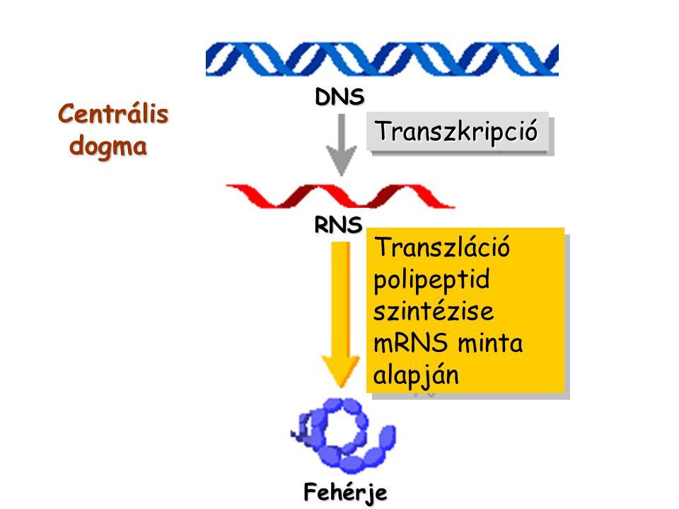 Centrális dogma Transzkripció Transzláció polipeptid szintézise