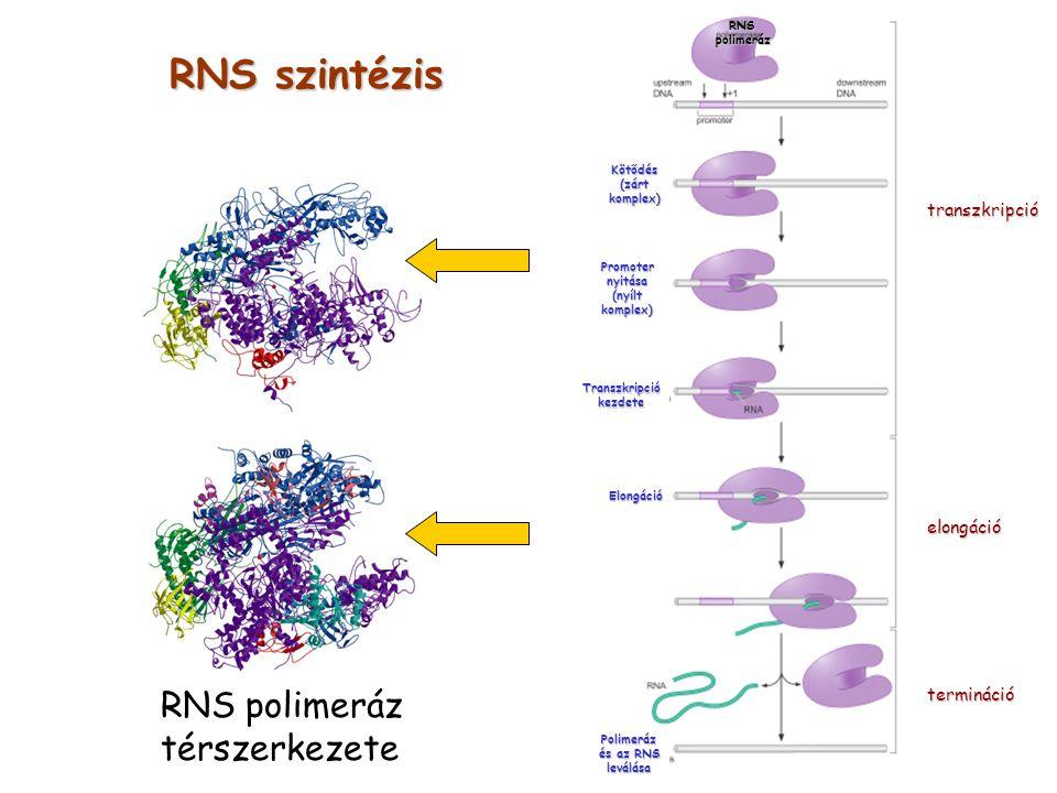 RNS szintézis RNS polimeráz térszerkezete transzkripció elongáció