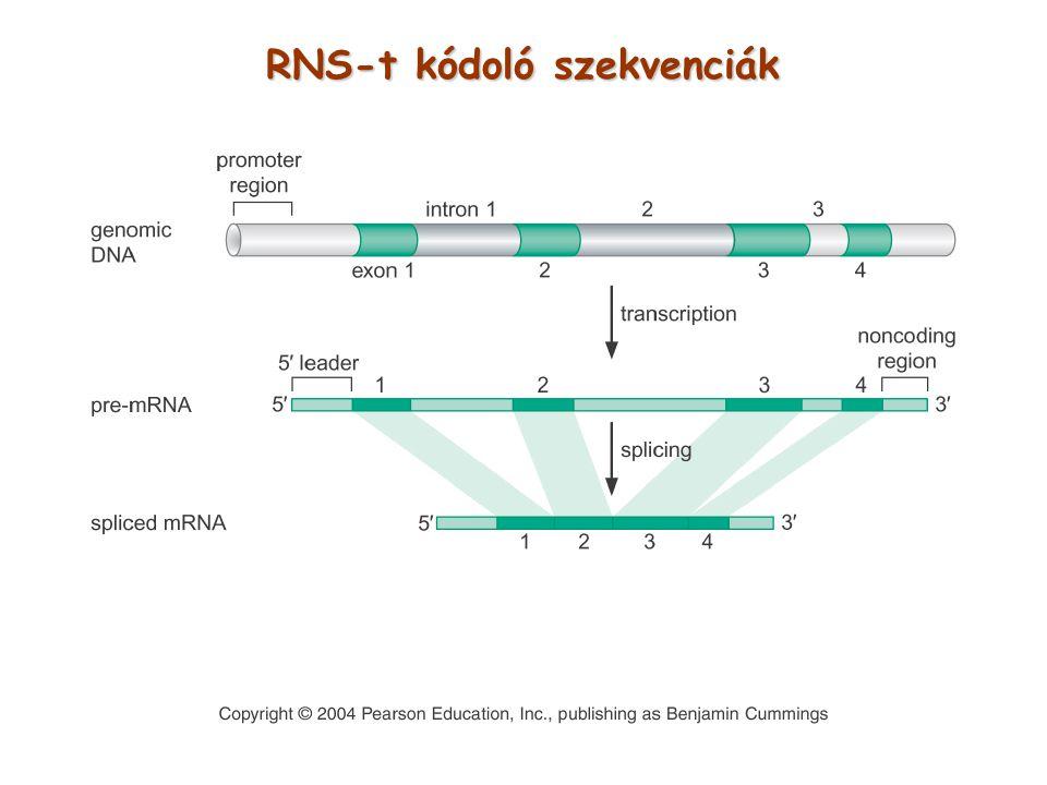 RNS-t kódoló szekvenciák