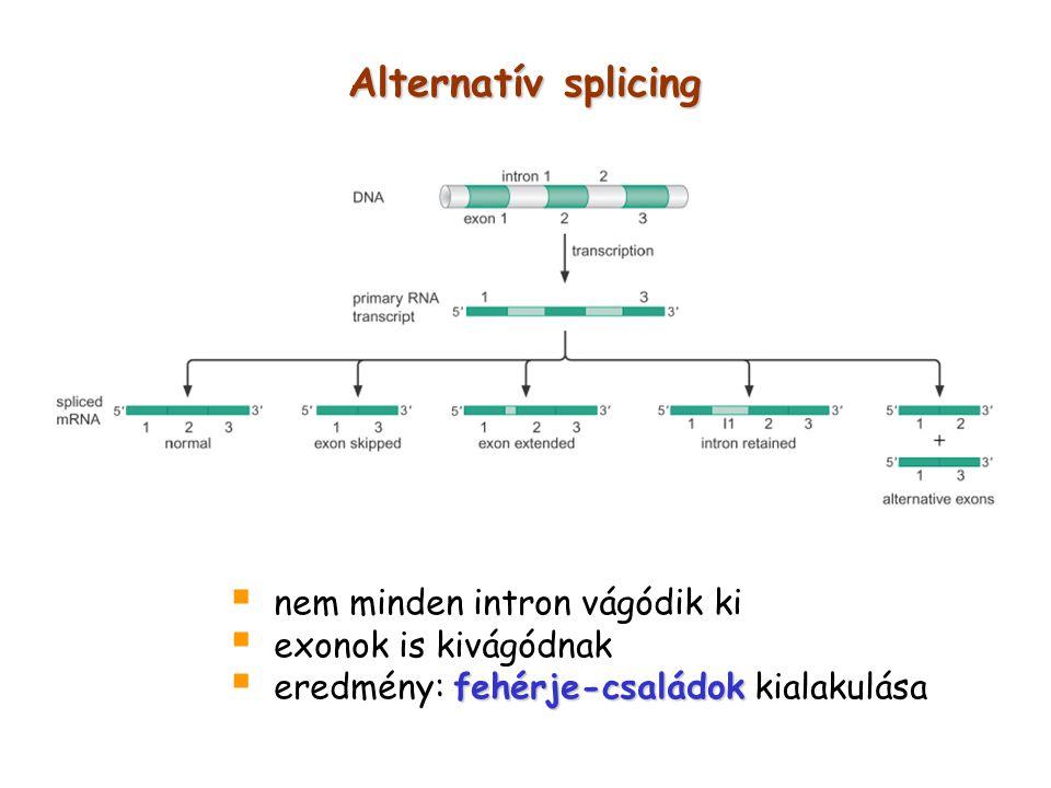 Alternatív splicing nem minden intron vágódik ki exonok is kivágódnak