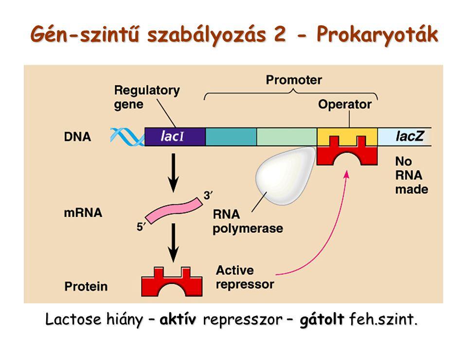 Gén-szintű szabályozás 2 - Prokaryoták