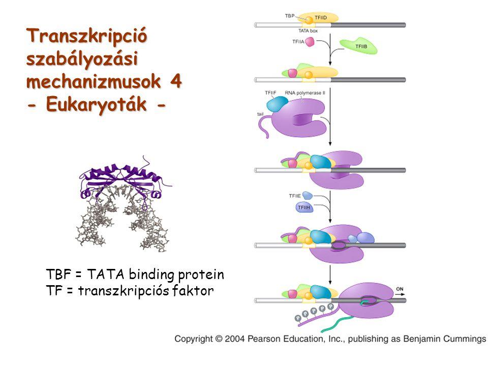 Transzkripció szabályozási mechanizmusok 4 - Eukaryoták -