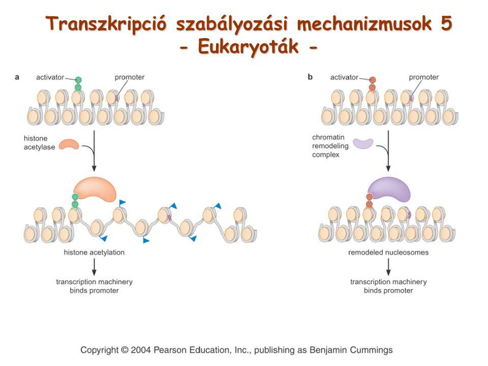 Transzkripció szabályozási mechanizmusok 5