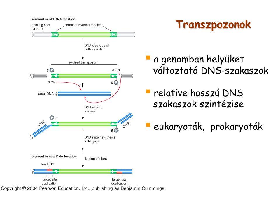 Transzpozonok a genomban helyüket változtató DNS-szakaszok