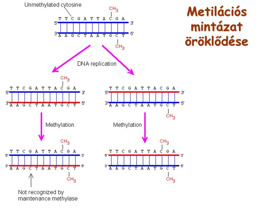 Metilációs mintázat öröklődése