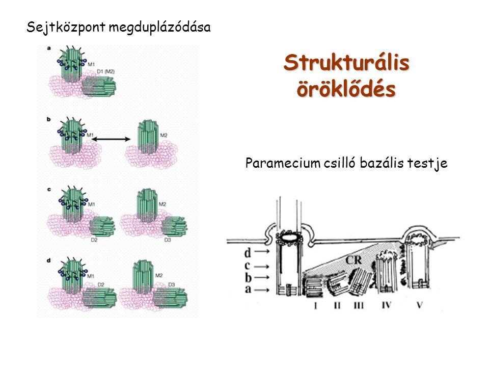 Strukturális öröklődés