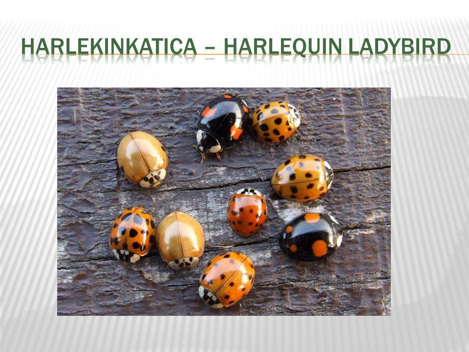 HarlekinkatiCa – HARLEQUIN LADYBIRD