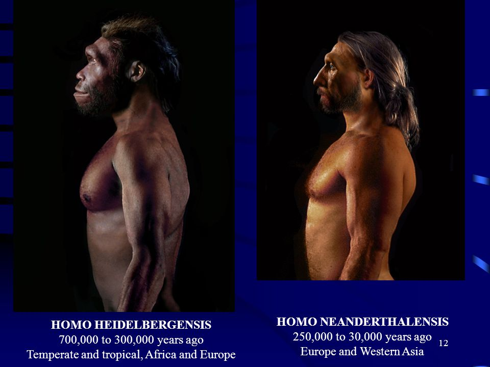 HOMO HEIDELBERGENSIS 700,000 to 300,000 years ago Temperate and tropical, Africa and Europe