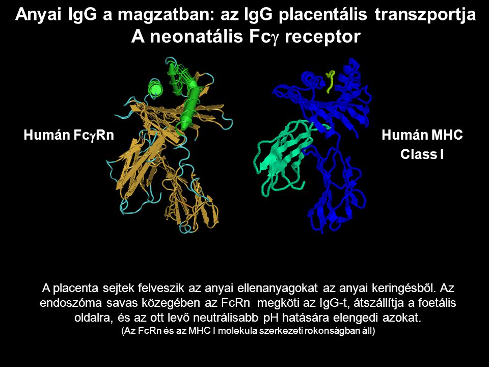A neonatális Fcg receptor