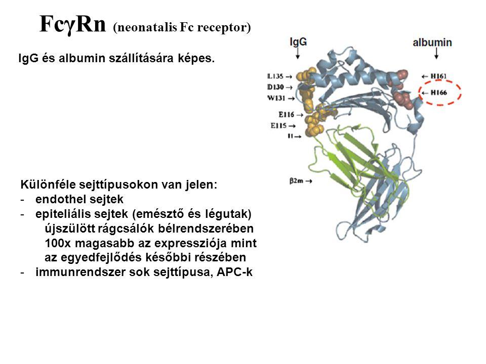 FcγRn (neonatalis Fc receptor)