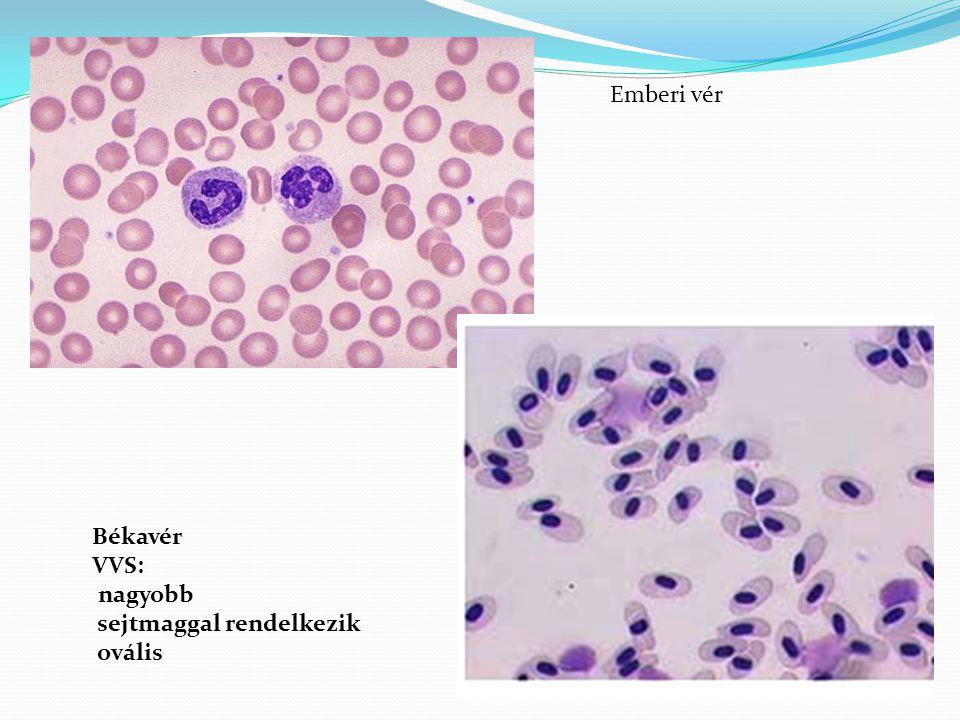 Emberi vér Békavér VVS: nagyobb sejtmaggal rendelkezik ovális