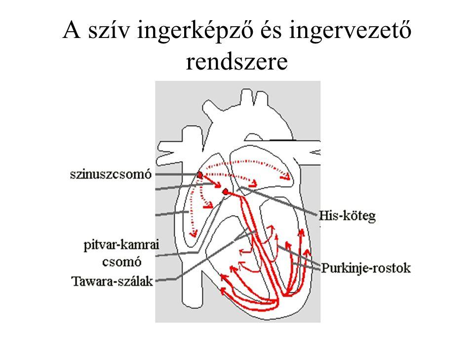 A szív ingerképző és ingervezető rendszere