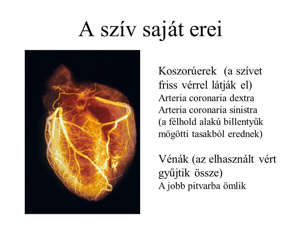 A szív saját erei Koszorúerek (a szívet friss vérrel látják el)