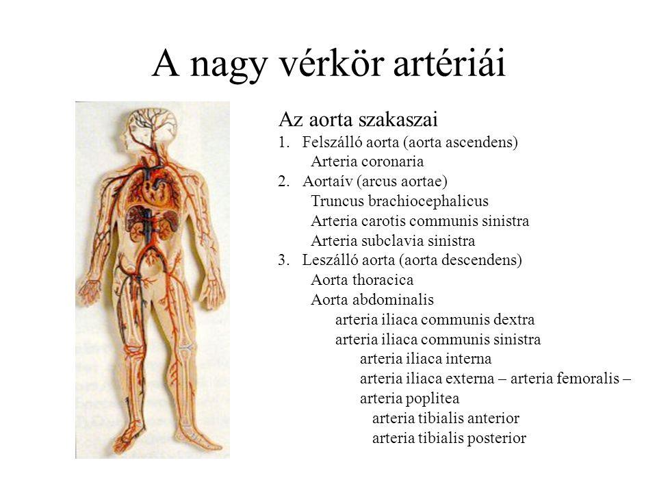 A nagy vérkör artériái Az aorta szakaszai